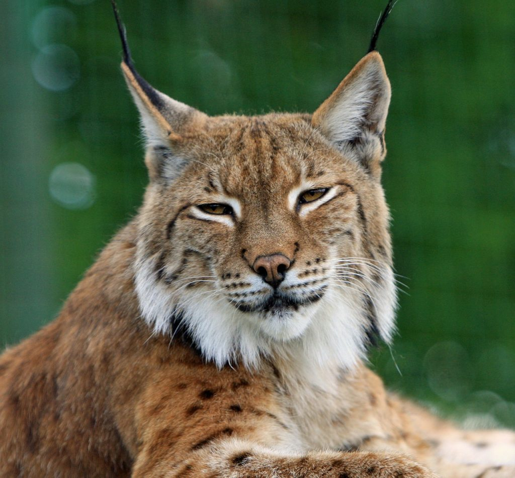 Bobcat Lynx Big Cat Feline